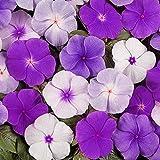 100 Piezas De Semillas De Bígaro De La Mezcla Flores De Catharanthus Plantadas En Invernadero Durante Todo El Año Adaptabilidad Fuerte Plantación De Pequeña Dificultad