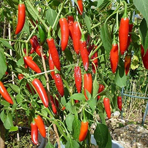 Samen für ca. 15 Pflanzen Serrano Chili – beliebte Sorte in Mexico