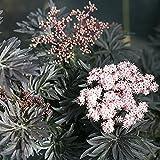 LACED UP Elderberry - 4' pot - Sambucus - Proven Winners