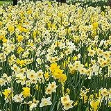 100x Narcissus 'All Spring'   100er Mix Blumenzwiebeln...