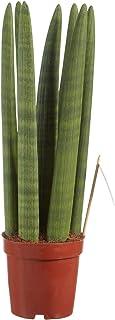 Planta de interior de Botanicly – Lengua de tigre – Altura: 45 cm – Sansevieria Straight