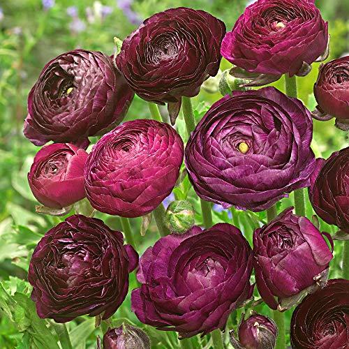 10x Ranunculus asiaticus