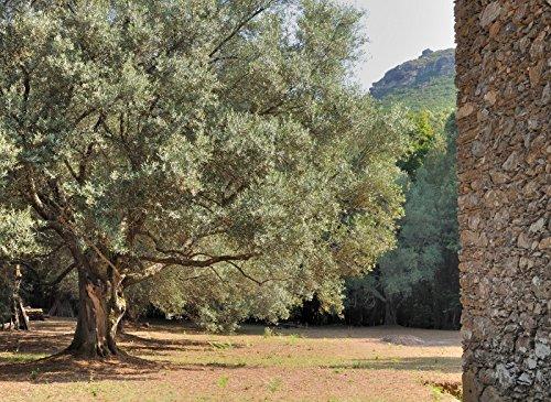 Echte Olive - 10 Samen