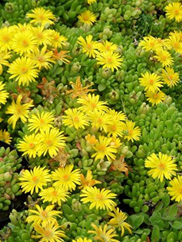 Delosperma nubigenum - Lesotho-Mittagsblume, 3 Pflanzen