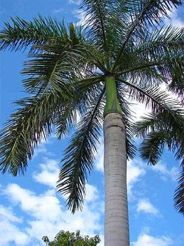 Graines Royal Palm Tree - 20 / Paquet de graines Hardy Palm Tree Farm - Culture frais