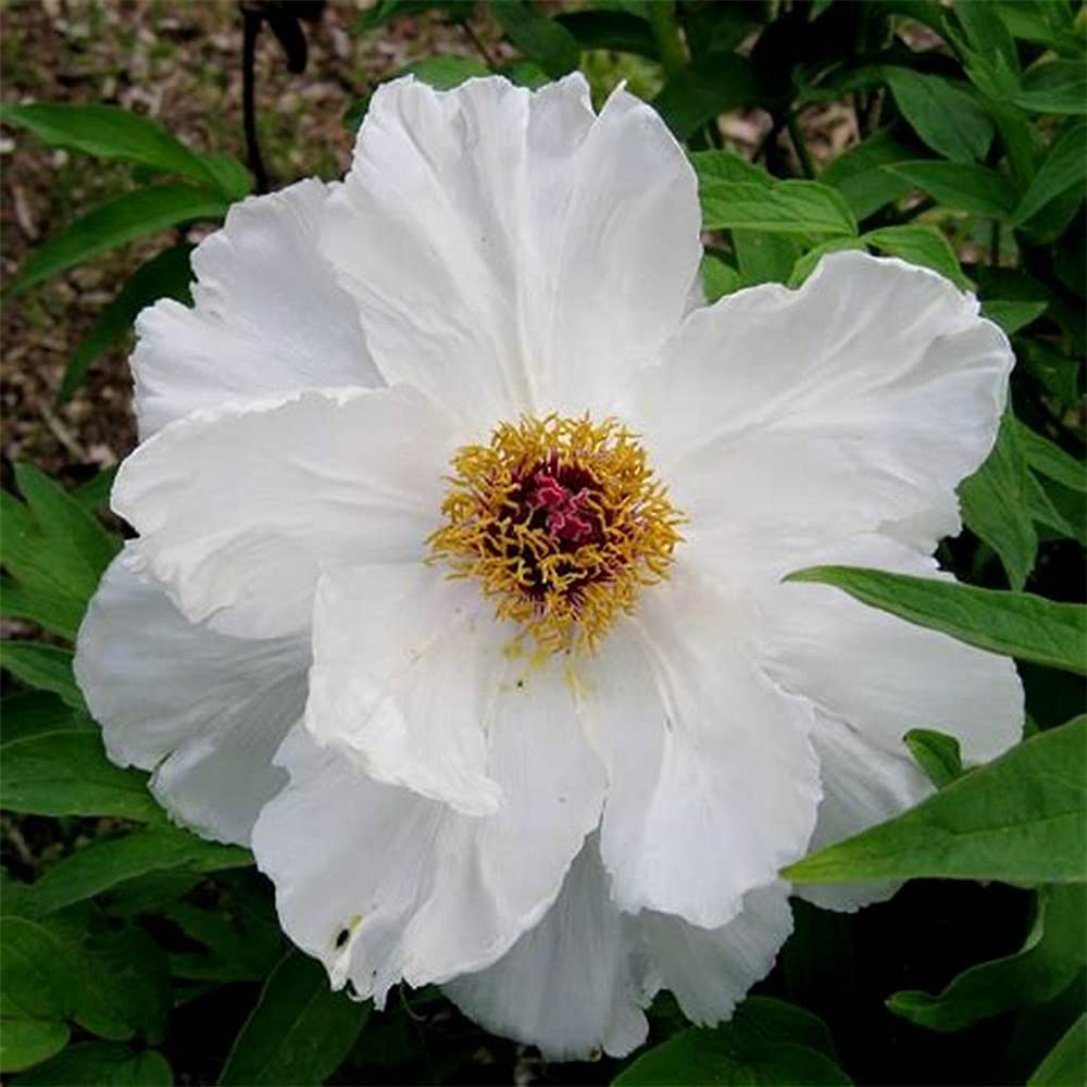 Peony Seeds 100PCS OUTDOORS Home Manufacturer direct delivery Seed-A famous Flowers Garden