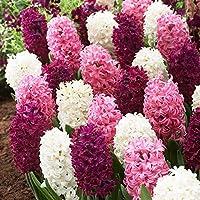 ヒヤシンス球根 - 最も香りのよい植物の球根の花、春に咲く水生植物