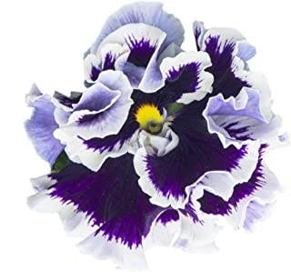Purple White Ruffled Pansy Seeds UPC 600188195125 + 1 Free Plant Marker (60)