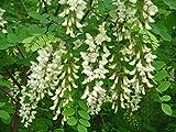 Robinie, Robinia pseudoacacia, 50 Baumsamen (Fast, Hardy, Fragrant)
