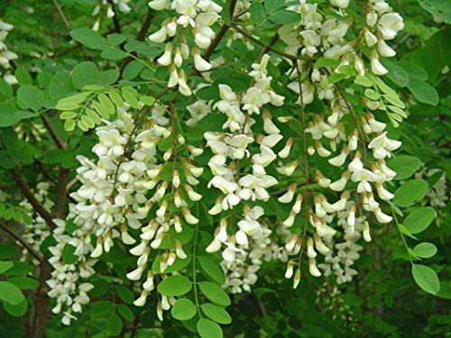 Robinie, Robinia pseudoacacia, schnell! Baum 50 Samen