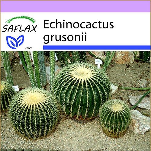 SAFLAX - Coussin de belle-mère - 40 graines - Echinocactus grusonii