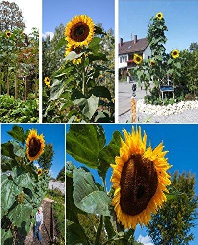25x géant Tournesols 5,2 METRES Giant King Kong Sunflowers fleurs de jardin Nouveauté semences graines de fleurs fleurs de jardin plant #424