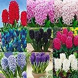 Kisshes Seedhouse - 50/100pcs Graines de Jacinthes en mélange Hyacinthus grainé fleur jardin