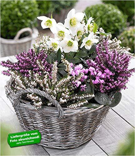 BALDUR Garten Sortiment Winterzauber, 4 Pflanzen Erica carnea & Helleborus Niger