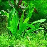 2016 Nuevos 1000 Semillas piezas planta de acuario de agua, semillas de la planta acuática ornamental Hierba, plántulas muy fácil crecer 4