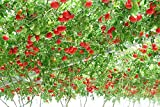Heirloom gigante pomodoro Albero, 100 semi, sano deliziosa nutriente frutti commestibili E3617