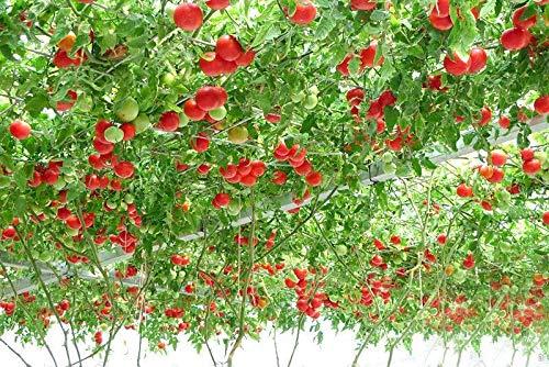 Heirloom géant Arbre de tomate, 100 graines, fruits comestibles nutritifs délicieux sain e3617