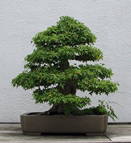 Semillas Trident arce (Acer buergerianum), 20 semillas