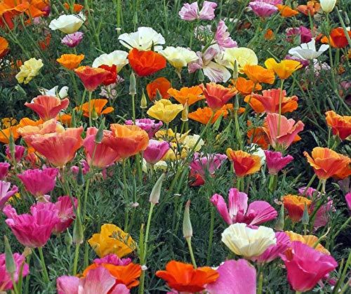 Bobby-Seeds Blumensamen Goldmohn Mischung