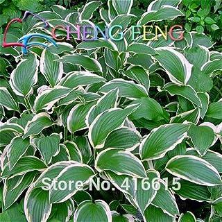 2016 Sementes Flower Seeds 100 Hosta Seeds Fire and Ice Shade Perennials Plantain Flower Bonsai Home Garden Ground Cover P...