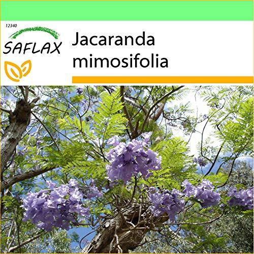 SAFLAX - Jardin dans la boîte - Flamboyant bleu - 50 graines - Jacaranda mimosifolia
