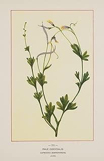 Best pale corydalis flower Reviews