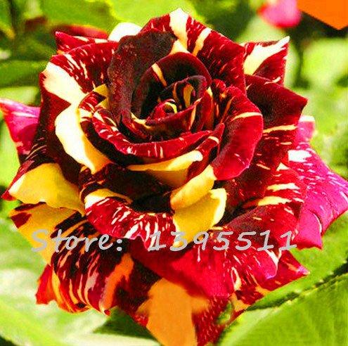 1bag = 100pcs graines rares Rose, couleur rare, Rose fleur magnifique Maison & Gardern bonsaï plantation Graines