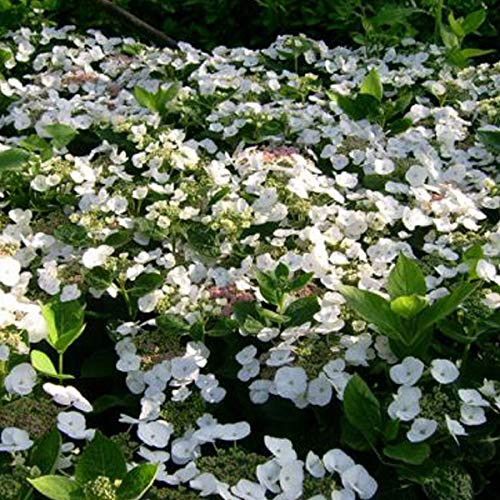 Hydrangea 'Teller White' - Tellerhortensie 'Teller White' 25-30 cm Pflanzcontainer