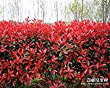 Cheap! forest seed seed Photinia Red Robin heather tree leaves hedge real locations 50 seed / Pack - Arcis New