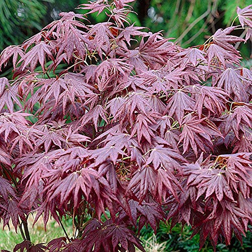 Acer palmatum 'Atropurpureum' | Japanese Maple Deciduous Potted Trees for Small Gardens | Premium Bushy Plant Shrub Tree in Pot (20-40cm (Incl. Pot))