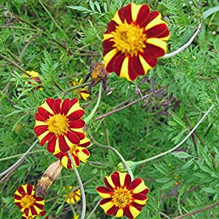 French Marigold Court Jester Seeds (f 165)