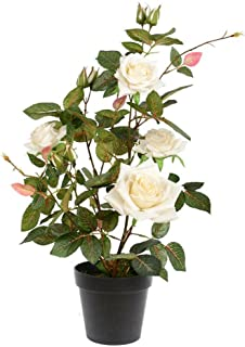 Best white rose plant Reviews