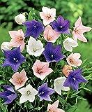 Lot de 50 graines Plante d'appartement Platycodon grandiflorus plusieurs couleurs - plantes vivaces