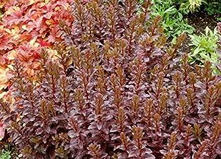 GEOPONICS Plant ORBIT BRONZE Drought Tolerant Easy Grow Cuttings