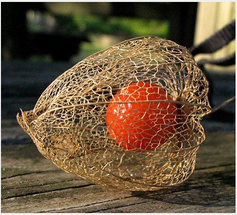 30seeds/sac Balcon plantes de fruits d'ornement en pot graines de fleurs fille lanternes rouges graines rouges comestibles fruits rouges Pickle
