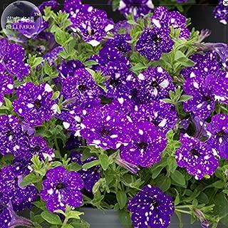 night sky petunia plants for sale