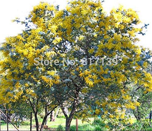 Nouveau jardin des plantes 10 Graines GOLDEN MIMOSA Acacia Baileyana Jaune Wattle Graines Arbre à fleurs