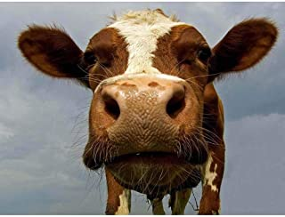 Poster 12 X 16 INCH / 30 X 40 CMS Funny Cow Farm Animal Close UP Photo FINE Art Print Home Decor Picture