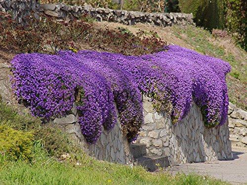 20 PCS Violet Maple Seeds SEND 100 graines rock cress GRAINES Aubrieta Cascade fleur pourpre pour cadeaux d'érable Bonsai Plantes Arbres