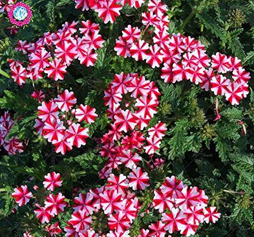 Rare graines Verveine 50pcs Verbena hybrida Bonsai Graines de fleurs vivaces Plantes aromatiques Plantes d'intérieur Balcon pour jardin 1
