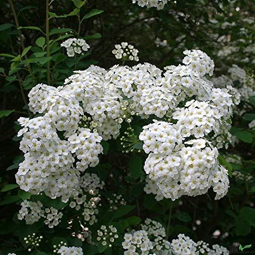 Spiraea vanhouttei weiße Prachtspiere Blütenstrauch Zierstrauch verschiedene Größen (40-60 cm)
