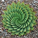ADBINC New Spiral Aloe Succulent Genuine Aloe Polyphyll 5Seeds (1 Bag (5 Seeds))