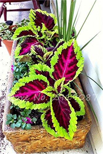 Janpanse Bonsai coleus Graines 50 Pcs Plantes feuillage couleur parfait arc Graines Belle Mixed Flower Garden plante Sement 14