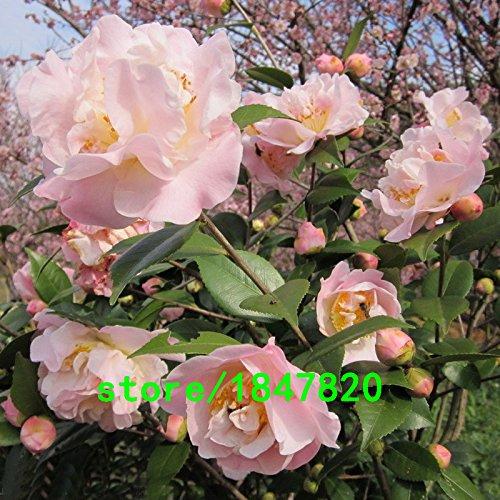 Graines rares Graines Light Pink Camellia plantes en pot jardin de fleurs en pot Bonsaï japonais Camellia Seed 50PCS