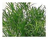 Exotic Plants Asparagus falcatus - Esparraguera Espina...