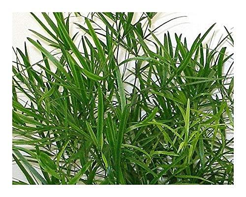 Exotic Plants Asparagus falcatus - Esparraguera Espina de Hoz - Espárragos de Bosque - 5 Semillas