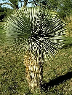 CROSO Germination Seeds ONLY NOT Plants: 20 Seeds - Beaked Yucca - Yucca Rostrata