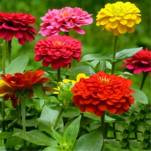 100 graines / Paquet Mix couleur graines de Zinnia Rare Belles fleurs Maison et jardin des plantes faciles à planter Livraison gratuite