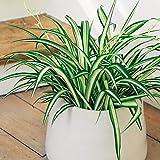 Grünlilie, (Chlorophytum comosum), luftreinigende Zimmer und Büropflanze, (1 Pflanze im 12cm Topf, Sorte: Ocean)