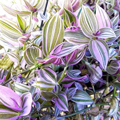 cutdek Tradescantia Fluminensis Lilac - Wandering Jew Lilac - Rare House Plant